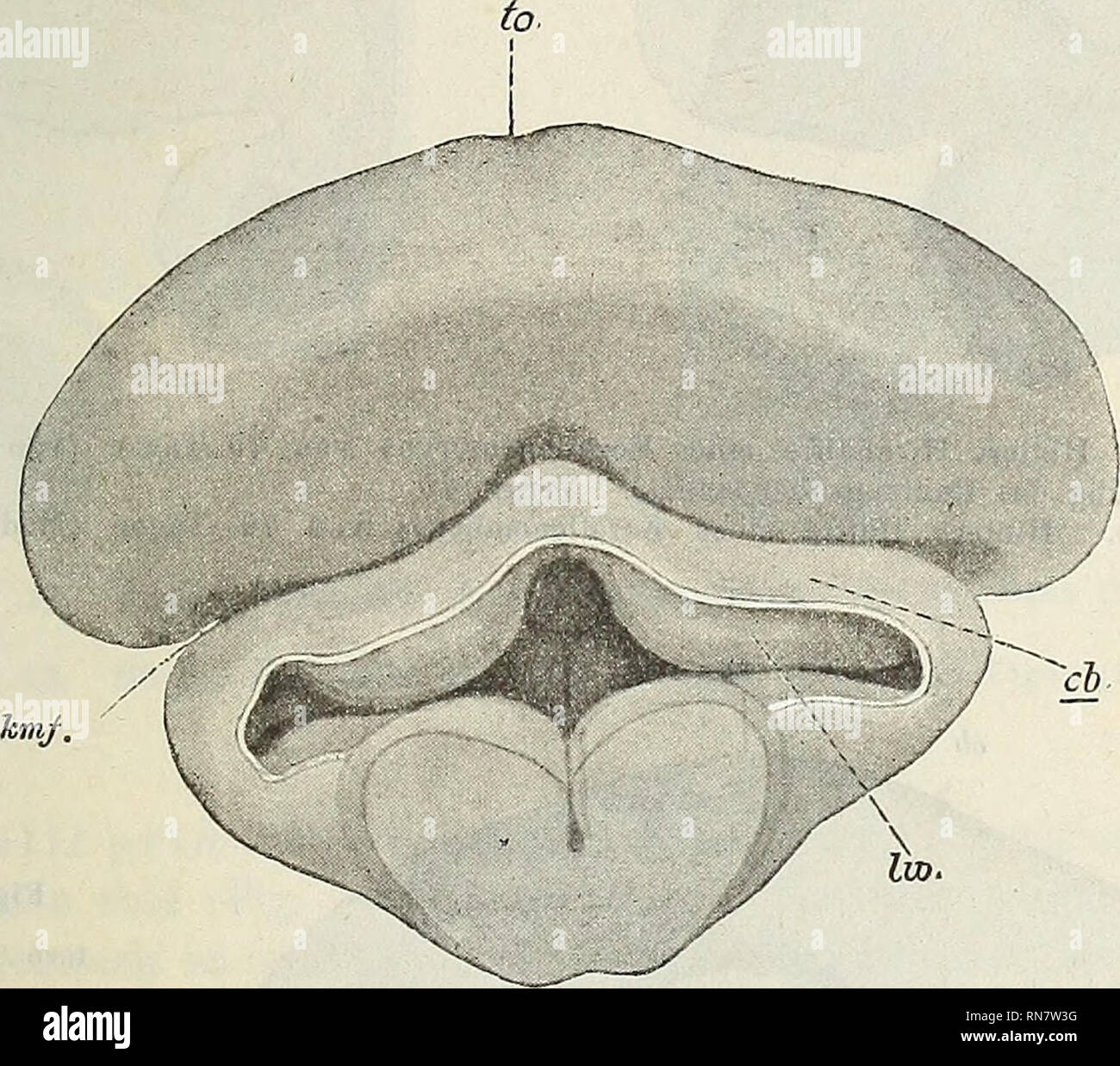 . Anatomischer Anzeiger. Anatomy, Comparative. 493 des Hinterhirnbläschens, also aus einer medianen Anlage hervor- gehen soll, als unrichtig erscheinen. Weitere Untersuchungen haben hier noch Aufklärung zu schaffen. In der Folge nun neigt sich die bisher senkrecht zur Längs- achse des Hirnrohrs gestellte Kleinhirn-Mittelhirnfalte mehr und mehr nach hinten (vgl. Fig. 4, 6 und 9 kmf miteinander), so daß die Klein- hirnanlage jetzt schräg über den vorderen Abschnitt der Rautengrube zu liegen kommt. Die Seitenteile des Cerebellums wuchern in außerordentlichem Maße und hängen bald als zwei mächtig| - Stock Image