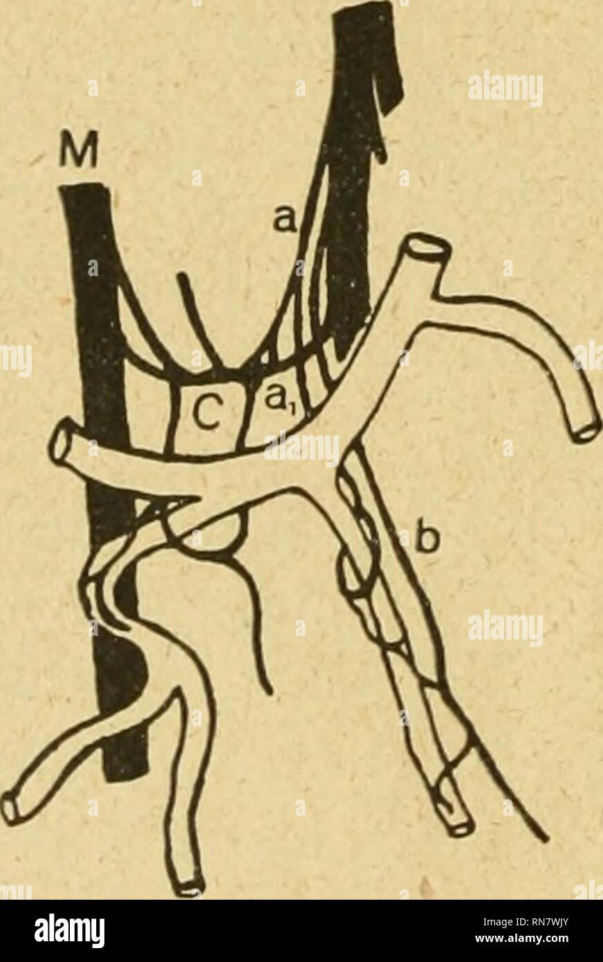 . Anatomischer Anzeiger. Anatomy, Comparative; Anatomy, Comparative. 438 zeigt. Die den 5. und 4. Pinger versorgenden Ulnarisäste sind nicht gezeichnet, da sie nicht in den Bereich des Plexus fallen. Ast a des Ulnaris zweigt unterhalb des Os pisiforme von diesem ab und senkt sich nach kurzem Verlauf gegabelt in Ast c ein, der die Verbindung zwischen Ulnaris und Medianus herstellt. Ungefähr 1 cm oberhalb dieser Einmündungsstelle gibt er einen Ast a^ ab, der über die Anastomose und unter dem Hohlhandbogen hinwegzieht und die Art.dig.vol.com.lv in einer engen, ihrer Wandung dicht anliegenden Masc - Stock Image