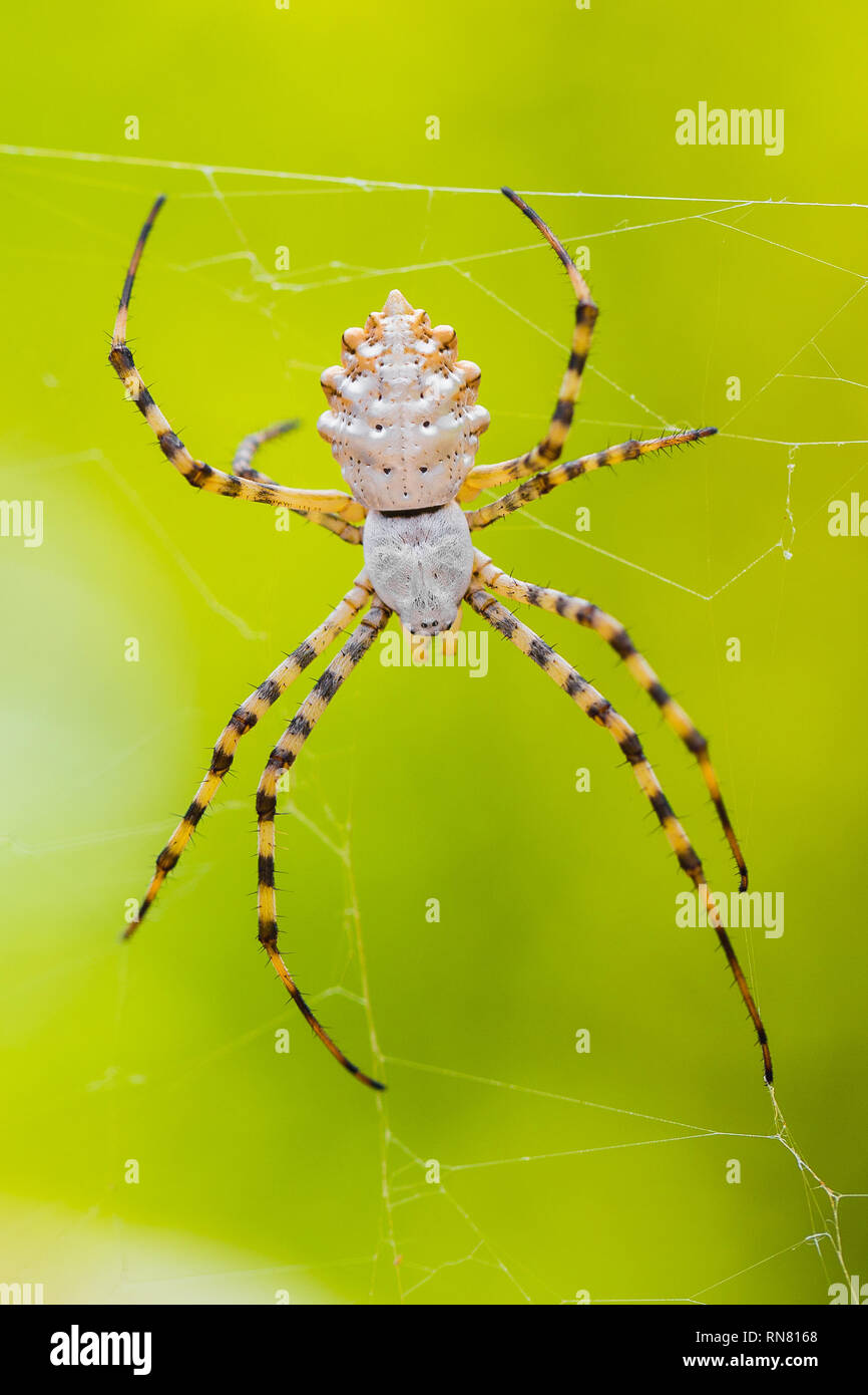 Spider Argiope lobata in Paklenica Croatia with green background - Stock Image