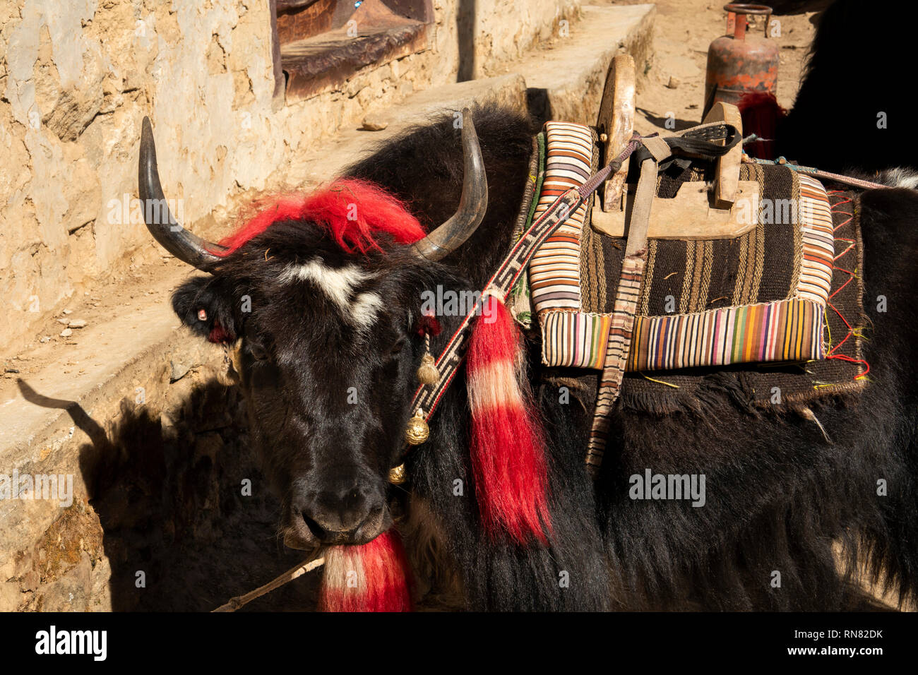 Nepal, Namche Bazaar, man loading Yak with decorated harnesses waiting to be loaded with packs - Stock Image