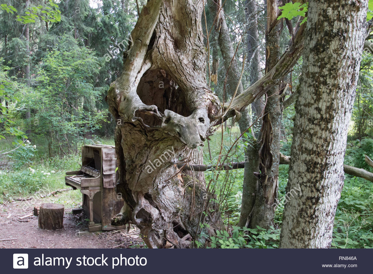 Curios formed tree like a tuba and an old piano in the wood - Stock Image