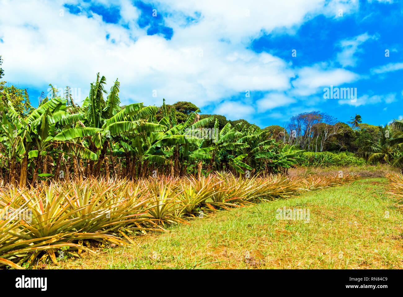 View of the pineapple plantation, Aitutaki Island, Cook Islands - Stock Image