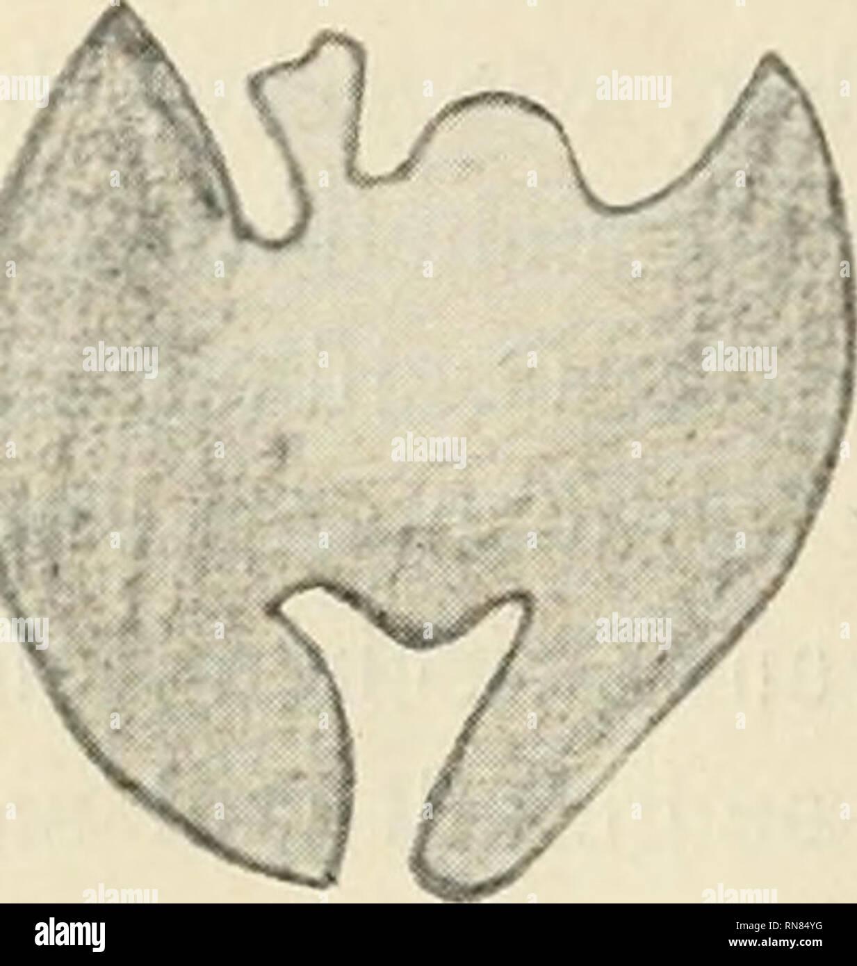 . Anatomischer Anzeiger. Anatomy, Comparative; Anatomy, Comparative. 304. Fig. 9. mittleren Höhe durch eine kompakte Brücke verbunden sind und hier- durch unten für eine mit 2 Spitzen ins Knocheninnere vordringende Fissura bisupraoccipitalis Raum lassen. Ueber der Knochenbrücke liegt durchsichtigeres Gewebe, das dorsal mehrere Vorsprünge hat. In 1^2 mm Entfernung liegt das zweiteilige Interparietale in Form von zwei sich in der Medianlinie be- rührenden Parallelogrammen, deren längere Dia- gonalen parallel der Sagittalebene verlaufen. Die Entstehung dieses Occipitale superius erkläre ich mir a Stock Photo