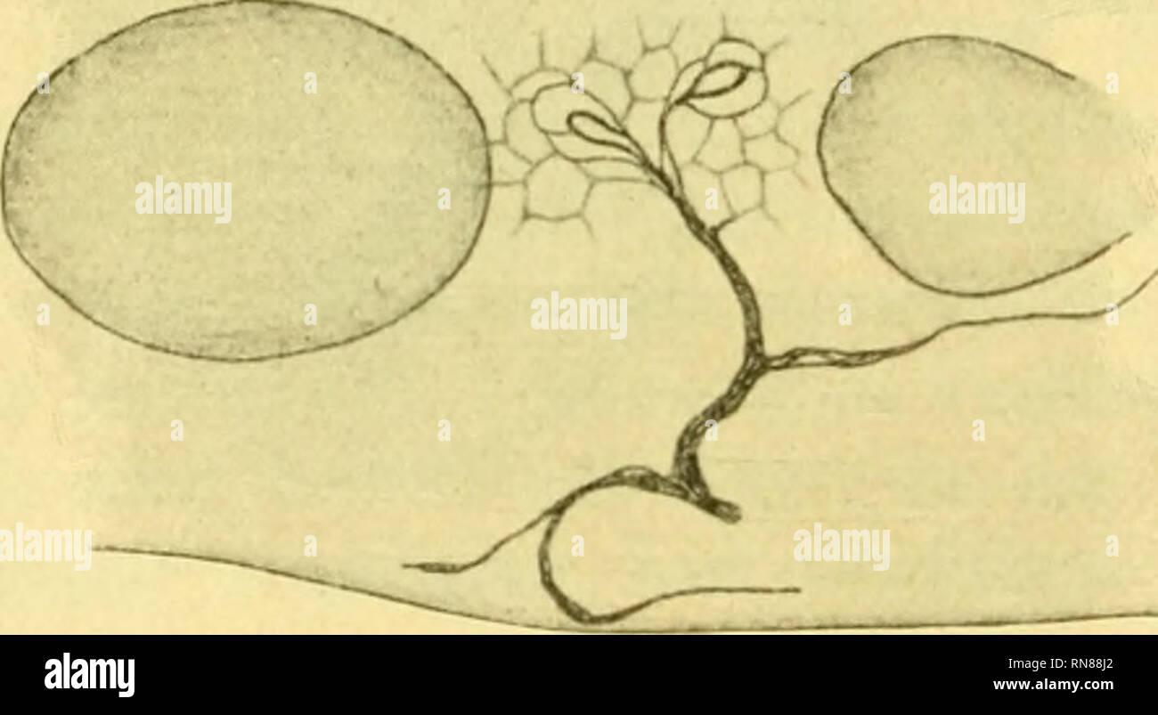 """. Anatomischer Anzeiger. Anatomy, Comparative; Anatomy, Comparative. 218 als die oben beschriebenen """"Endnetze"""" und """"Endringe"""". Bisweilen tritt der Unterschied in der Färbung auf einmal auf, so daß sich die schwarz gefärbten Endnetze sofort an die braunrot oder leicht braun- violett gefärbten Maschen des periterminalen Netzes anschließen, bis- weilen auch ist der Uebergang ein allmählicher, so daß die schwarz gefärbten Endringe von etwas weniger tief gefärbten Maschen um- geben sind, welche ihrerseits wieder in die zarten Maschen des weiteren Netzwerkes übergehen. Die Details dieses N Stock Photo"""