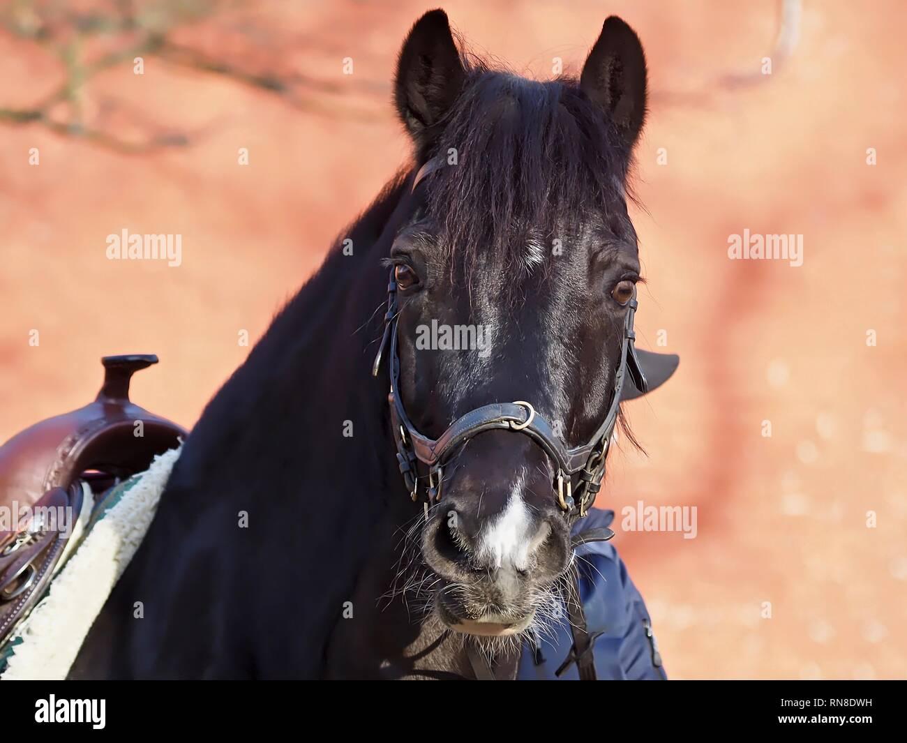 Isolated Black Horse With A Western Saddle Stock Photo Alamy