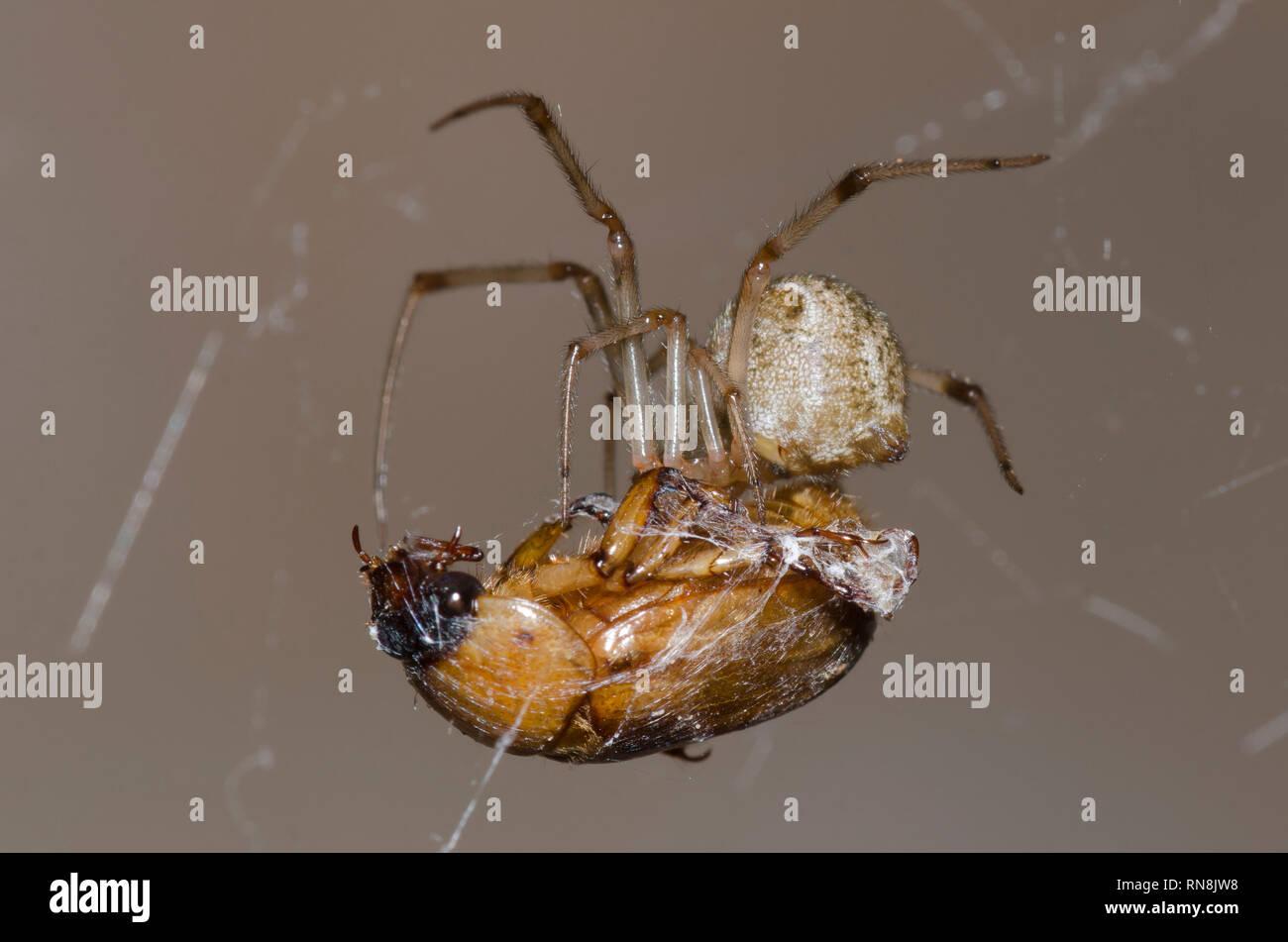 Cobweb Spider, Family Theridiidae, feeding on captured scarab beetle, Family Scarabaeidae - Stock Image