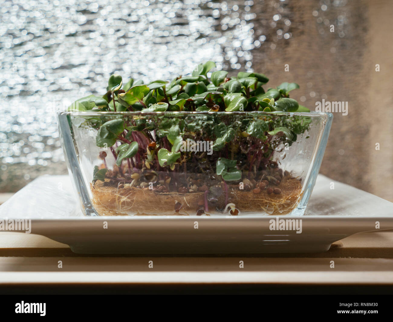 Radish china rose microgreens growing in a glass bowl under a grow light Stock Photo