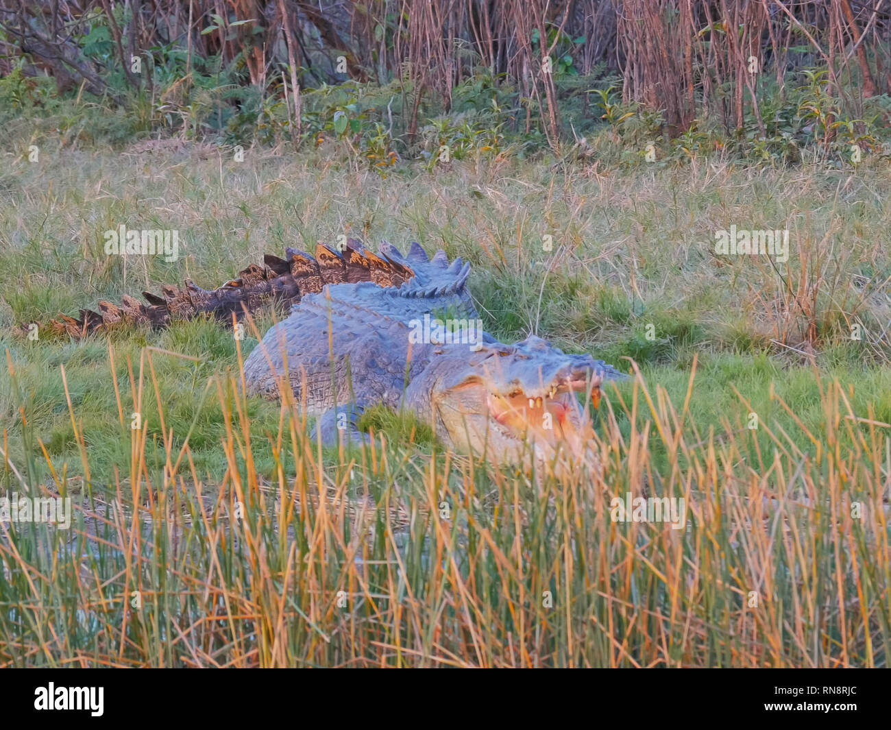 close up of a large estuarine crocodile at corroboree billabong in australia's northern territory - Stock Image