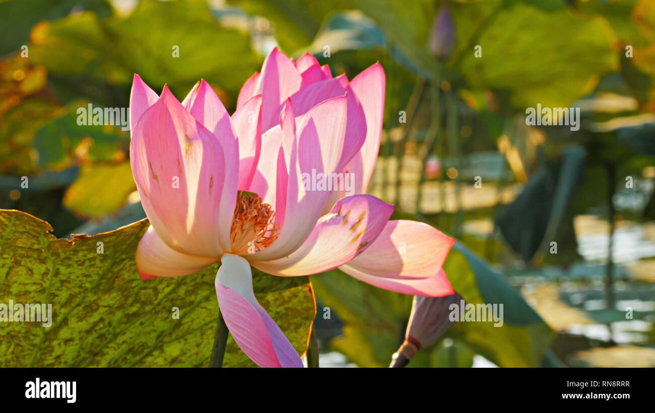 Australian Lily Flower Stock Photos Australian Lily Flower Stock