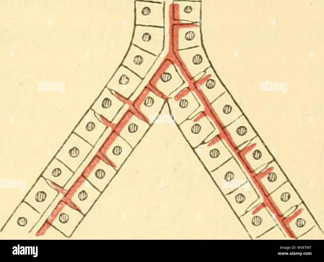 """. Anatomische Hefte. Untersuchungen über den Bau der LoIkt l)ei niederen Wirbeltieren. 70i und verhältnismässig häufig waren, und solche, die ,,spontan"""" im Verlauf eines Tubulus auftraten (Fig. 4). — Von der ersten Form gibt es unicelluläre, ja, ein einzelnes Mal sah ich zwei derartige zusammenhängende Maschen, und pluricelluläre. Die letzteren umschlossen von 2—6 Zellen. Diese Form lässt sich nur auf die im nachstehenden Schema angedeutete Weise ent- standen denken, dass sich nämlich zwei (oder mehrere) Tubuli aneinander gelegt haben und das' trennende Gefäss sich zurück- gezogen hat. Ei Stock Photo"""