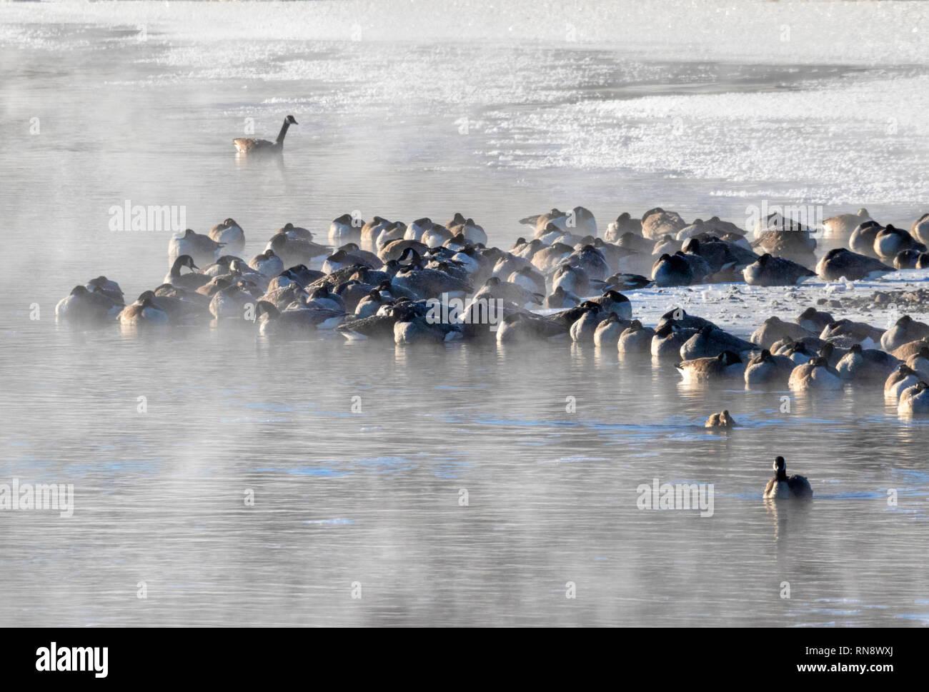 Canada geese (Branta canadensis) sleeping at the edge of freezing lake at cold winter morning, Iowa, USA - Stock Image