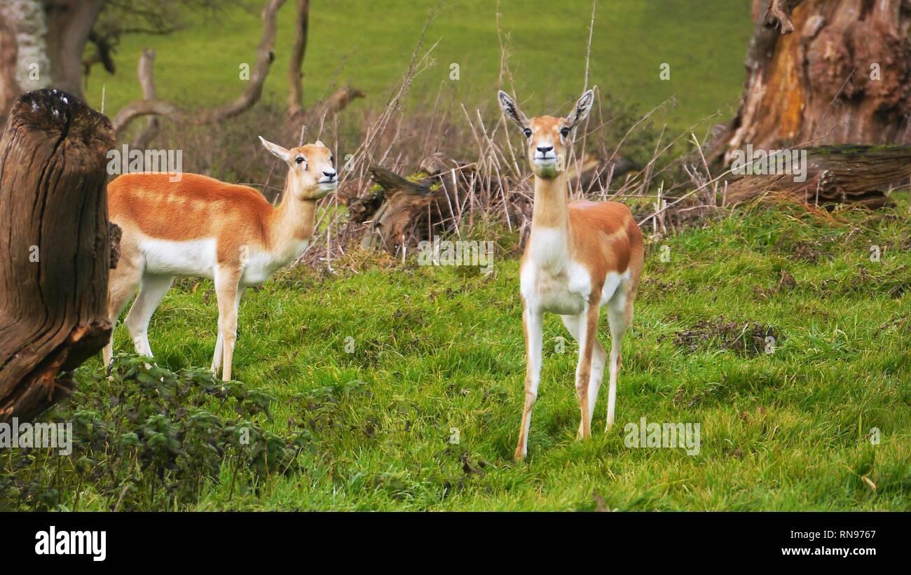 Longleat Safari And Adventure Park Longleat House Horningsham Wiltshire England United Kingdom Stock Photo Alamy