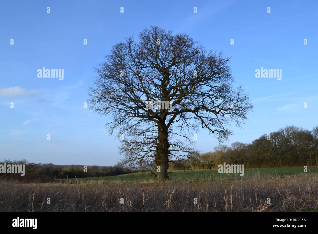 Solitary oak tree near Dunstall Farm, Shoreham, Kent, England, on a strangely warm February day, 2019. Many walkers enjoyed temp of 16-17C - Stock Image