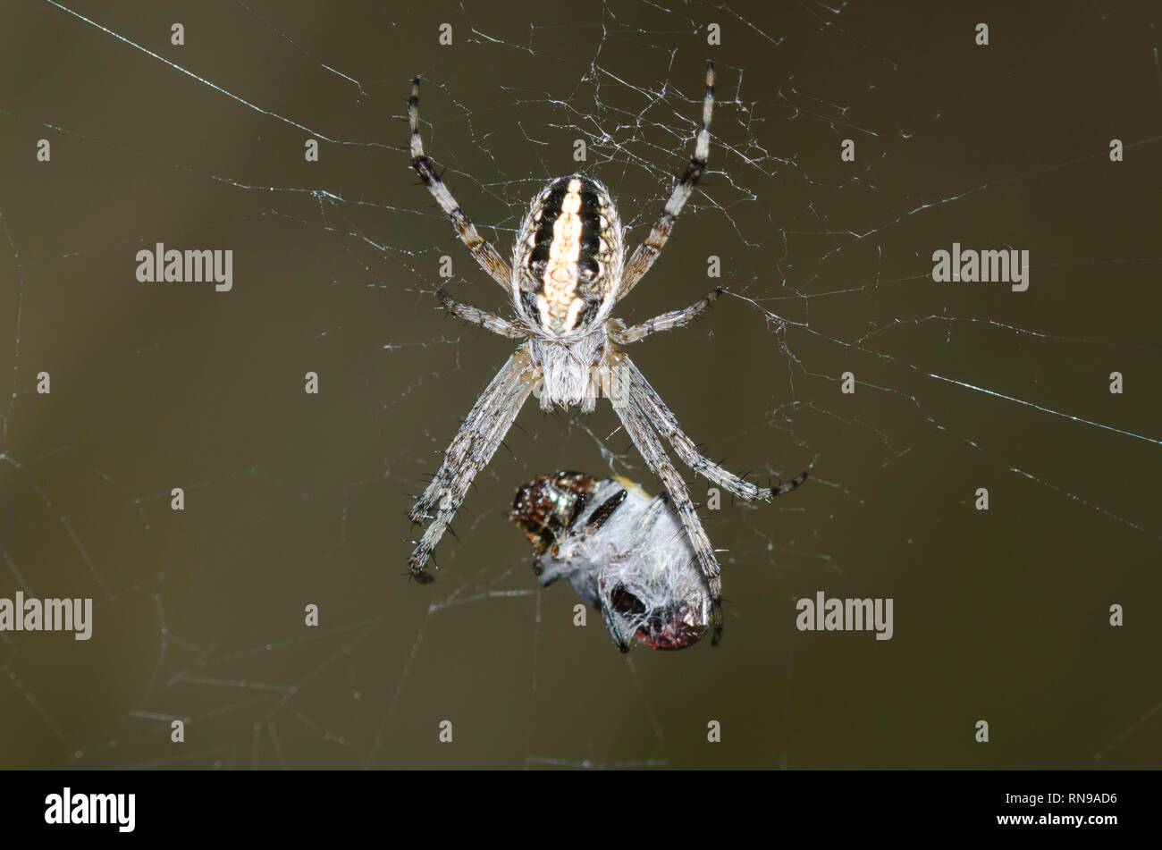 Western Spotted Orbweaver, Neoscona oaxacensis, with prey - Stock Image