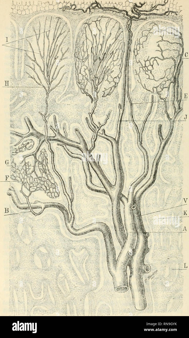 . Anatomischer Anzeiger. Anatomy, Comparative; Anatomy, Comparative. ! li,ü Mi/^-'*' Kig.'l.* Composite section of three follicles and the medullary cords of the mesenteric lymphatic gland oi dog/'lfifty; diameters. A Artery. Ä Medullar}- artery. C Follicular vein. £ Artery going to the capsule. F Capillaries in periphery of a cord. G Medullary vein. H Follicular artery. 1 Arterial capillaries in a toUicle, / Vein from capsule. K Cord. L Trabecula. f Vein.. Please note that these images are extracted from scanned page images that may have been digitally enhanced for readability - coloration an - Stock Image