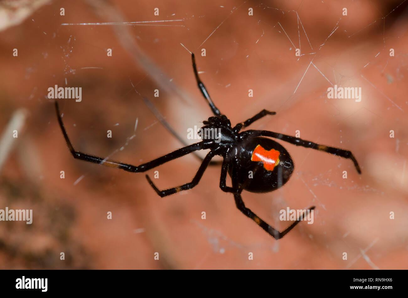 Southern Black Widow, Latrodectus mactans - Stock Image