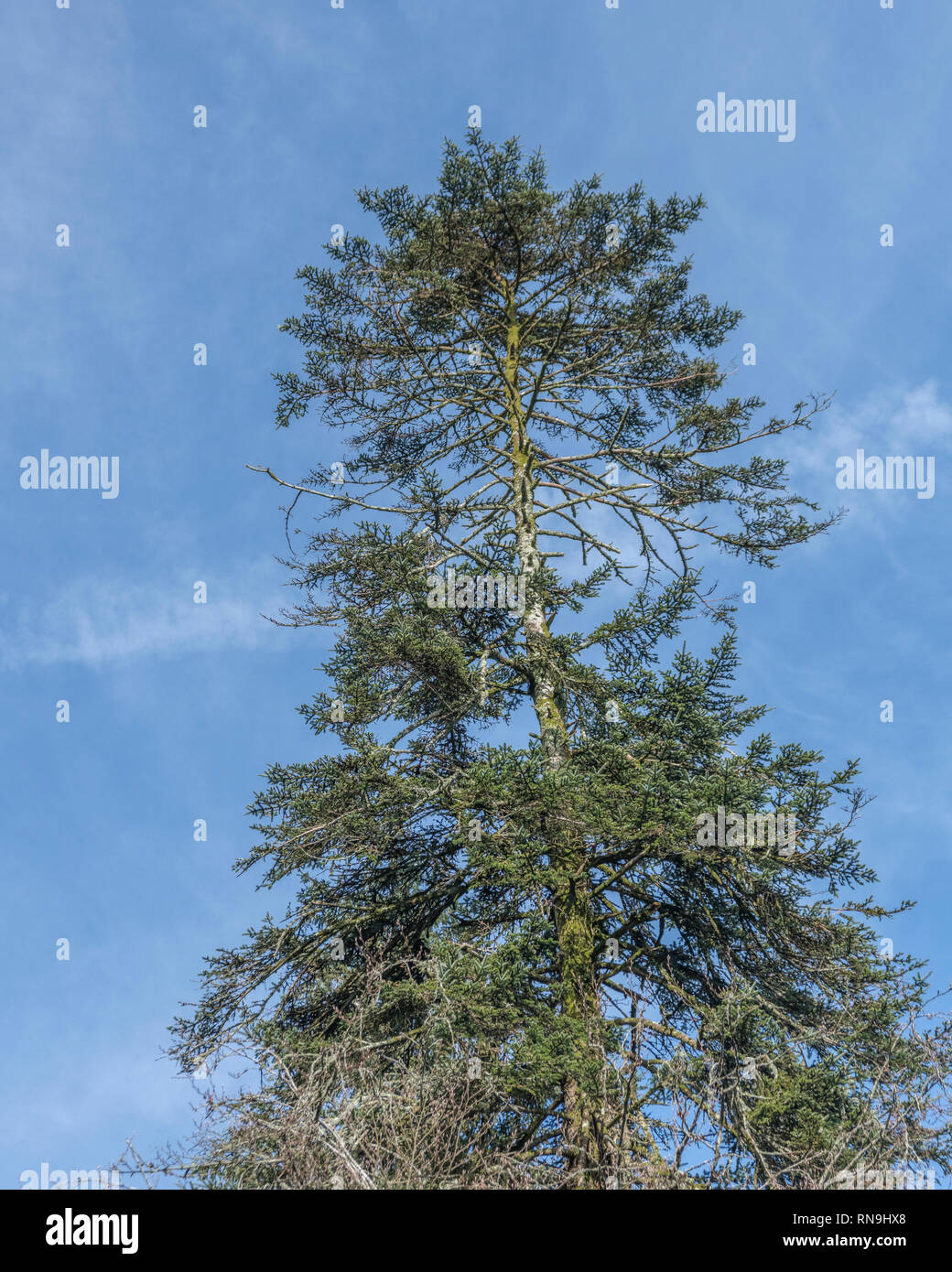 Coniferous tree canopy against blue springtime sky. - Stock Image