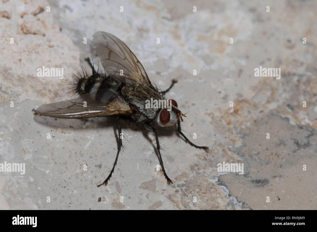 Tachinid Fly, Microphthalma disjuncta Stock Photo