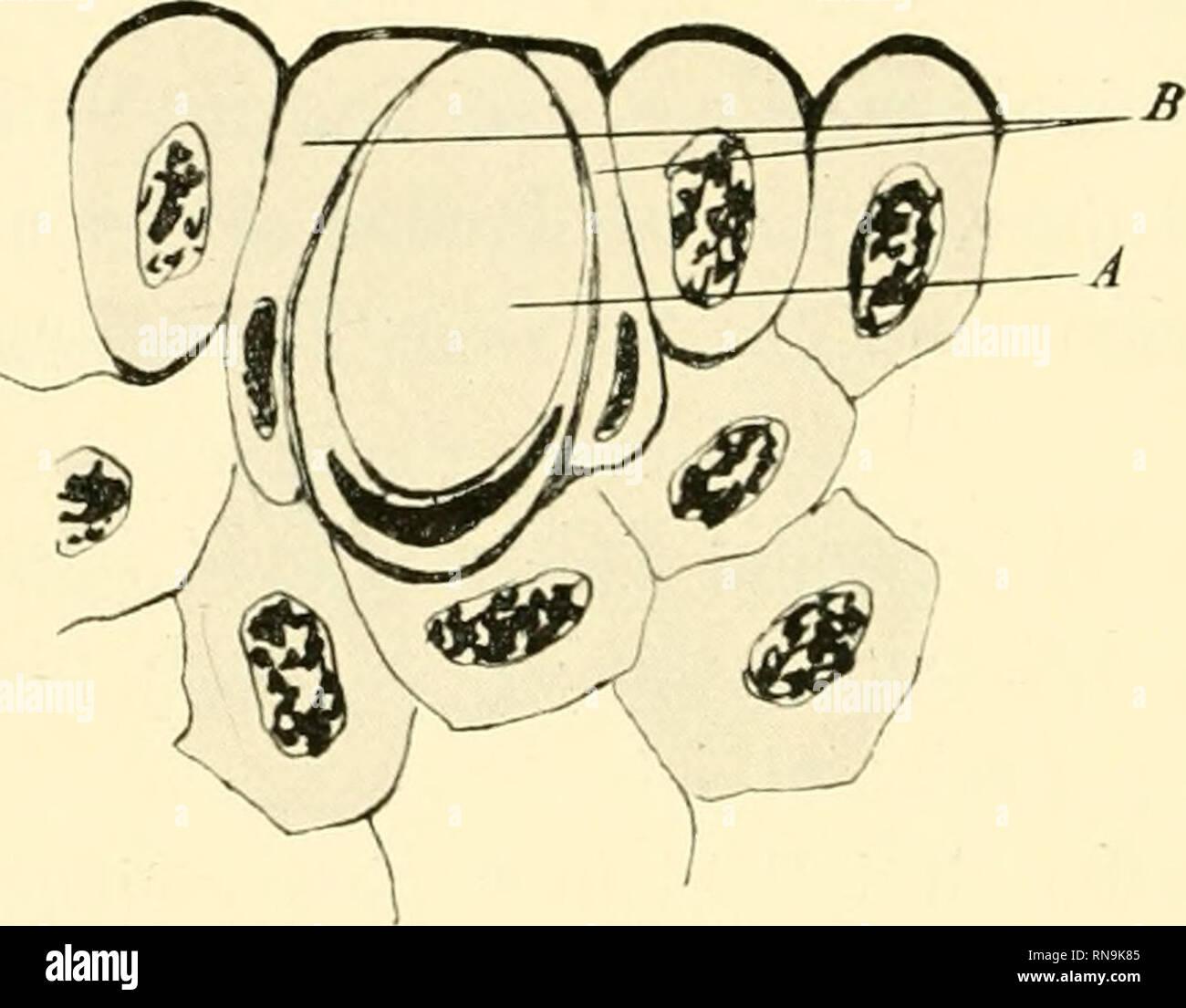 . Anatomische Hefte. 476 T. ASAI. konnte ich feststellen, dass bei dieser Umwandlung nur die /weile Lage des Epithels, d. h. nur die erste Reihe der zweiten Schicht, beteiligt ist. Hier füllen sich die Zellen allmählich mit. Please note that these images are extracted from scanned page images that may have been digitally enhanced for readability - coloration and appearance of these illustrations may not perfectly resemble the original work.. München [etc. ] J. F. Bergmann - Stock Image