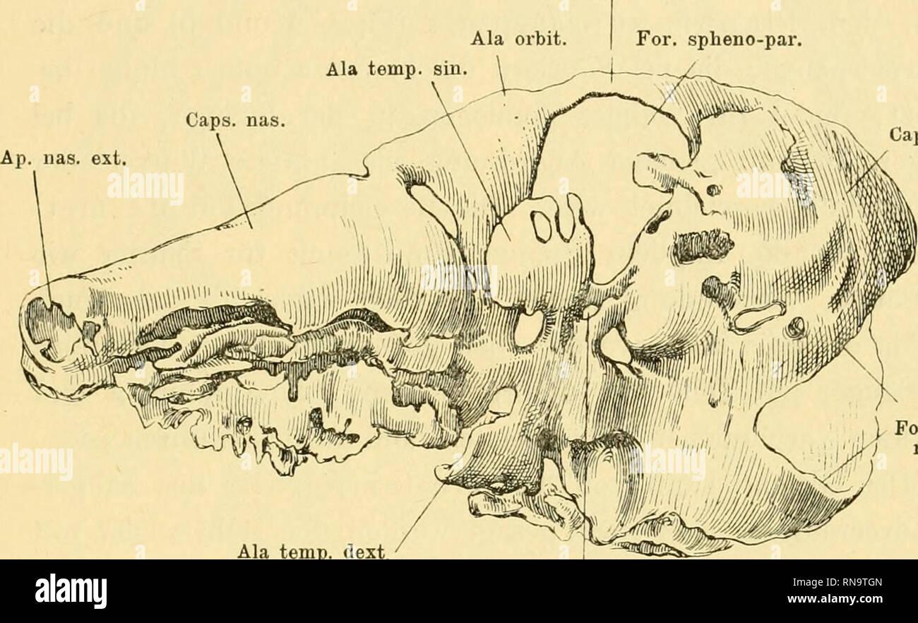""". Anatomische Hefte. über die Ala tempoialis des Säugerschädels etc. ^ 193 sitzt und liinteii in die knorpelige Anlage der """"Unterschuppe"""" (des Occipitale) übergeht. Wie diese Verhältnisse mit denen der Saurier zu verknüpfen sind, liabe ich früher auseinandergesetzt (1900, S. 498 u. if.) In der knorpeligen Anlage der Unterschuppe haben wir das in seiner Lage veränderte Tectum synoticum der Amphibien und Reptilien zu sehen, während die Parietal- platte sowie die Commissura orbito-parietalis auf die Comm. orb.-par. For. spheno-par. Caps, audit.. For. oecip, 1 mag. Ala temp. dext, For. carot. Stock Photo"""