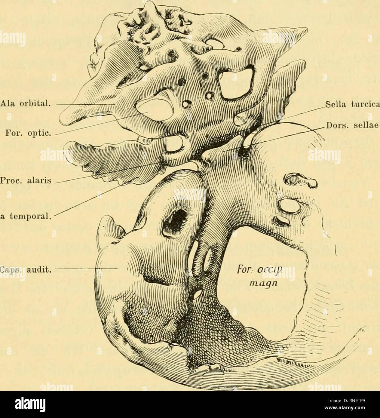 """. Anatomische Hefte. über die Ala temporalis des Säugeischädels etc. 161 stäudigen Knoclienkern, der aber sehr bald mit dem (paarig auf- tretenden) Kern des Körperabschnittes des Sphenoidale ver- schmilzt. Dagegen bleibt das """"Alisphenoid"""" länger getrennt, selbständig (vgl. Sutton, 1885 und Graf Spee, 1896). Der. Ala temporal Caps, audit Fig. 1. Modell des Primordialcraniums eines menschlichen Embryo von 8 cm Steiss-Scheitel- länge. (Nach der Zieglerschen Kopie des im Hertwigschen Institute ange- fertigten Original-Modelles.) Die knöchernen Territorien sind in der Abbildung nicht eingetrag Stock Photo"""