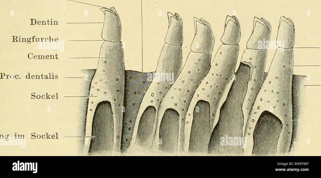 . Anatomie des Frosches. Frogs; Amphibians. Zähne. 29 fand Wiedersheim bei einem mittelgrossen Exemplare von Bana esculenta in jeder Kieferhälfte über 50 Zähne. Auch die Vomerzähne Fisr. 13.. Oeffnung im Sockel Kingfurche Knochenkörpercheu Proc. dentalis Ein Stück des Maxillare vom Frosch, mit Zähnen. Von innen gesehen. 20 Mal vergrössert. Nach O. H e r t -w i g. sitzen an der Hinterfläche einer niedrigen Knochenleiste (Processus dentalis)-, ihre Zahl ist fünf bis zehn; nach W. Smith selten mehr als sieben oder acht. Wofern die Zahnreihe vollständig ist, sind die basalen Al)schnitte der Zähne  Stock Photo