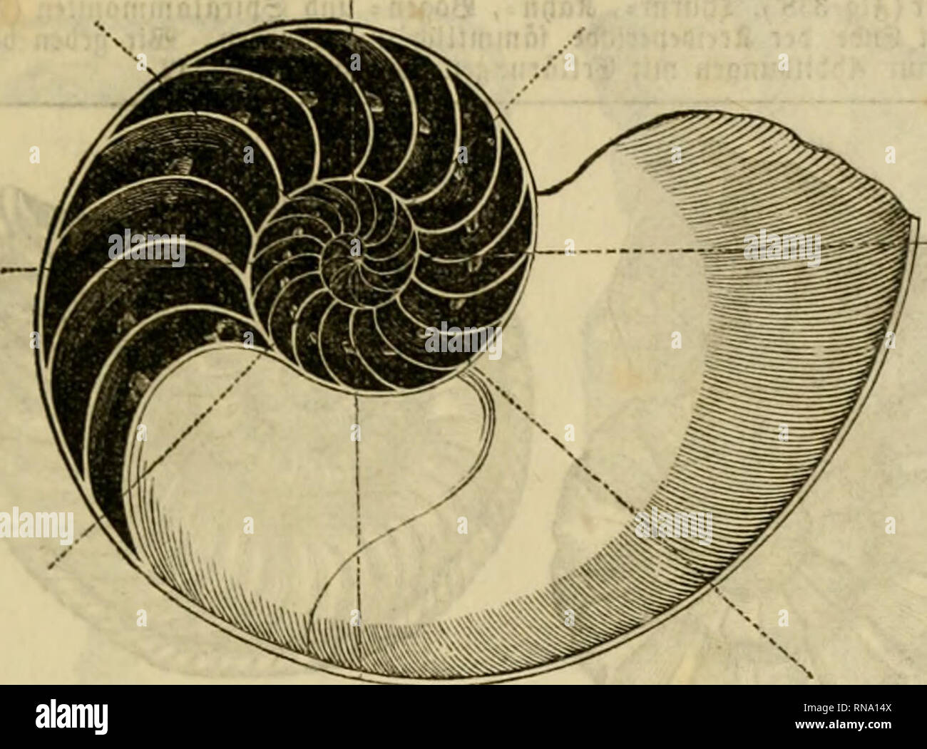 . Analytischer Leitfaden für den ersten wissenschaftlichen Unterricht in der Naturgeschichte. Animals. IX. ÄlafTf. 9Bflcf)tl)iere (Mollusca). 153 8. 21f. 819 329. (Sd)iffdbDOt (Nau- tilus ponipiltus). 3m Duerburcf)- fd)iiitte, um bitfl)m: tiutrifd) gebilbtttn Änmmern unb bie Sdöljre ju zeigen, tiflc{)e burd) aüt Änmmern gctjt.. Please note that these images are extracted from scanned page images that may have been digitally enhanced for readability - coloration and appearance of these illustrations may not perfectly resemble the original work.. Leunis, Johannes, 1802-1873; Metcalf Collection  Stock Photo