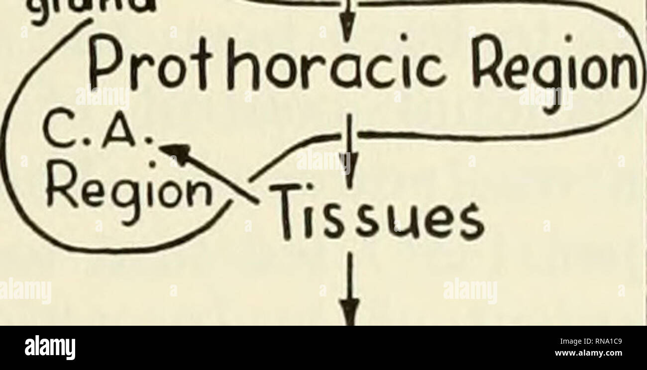 """. Analysis of development. Embryology; Embryology. Metamorphosis 641 stimulating the prothoracic glands to secrete their hormone. The brain hormone corre- sponds to the factor variously designated as """"molting hormone,"""" """"metamorphosis hor- mone,"""" """"pupation hormone,"""" and """"growth and differentiation hormone."""" Corpus Allatum Hormone. An agent pro- duced by the corpus allatum. When acting with prothoracic hormone it modifies the tissue response in such a way as to lead to a larval molt. This factor was formerly desig- three aspects of insect development: (1)  Stock Photo"""
