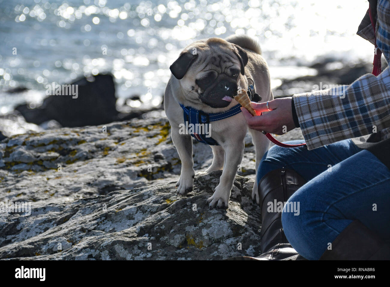 e7dc608b55e3 Dog eating ice cream with owner on a rock overlooking the sea - Stock Image
