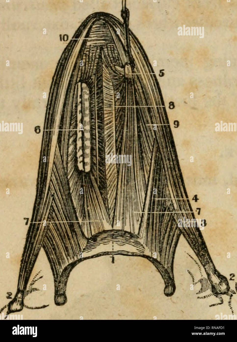 . An analytical compendium of the various branches of medical science, for the use and examination of students. Anatomy; Physiology; Surgery; Obstetrics; Medicine; Materia Medica. 98 THE PALATE. and corner of the hyoid Fig. 80.. bone. Ivsertion^ into the side of the tongue, some of the fibres reaching its lip. Genio-hyo- glossus.^ — Origin, by a tubercle behind the symphysis of the lower jaw. Insertion, into the hyoid bone, and into the whole length of the tongue. Lingualis.^—Origin, from the yellow tissue at the root of the tongue. Insertion, into the tip, be- tween the two last mentioned mus - Stock Image
