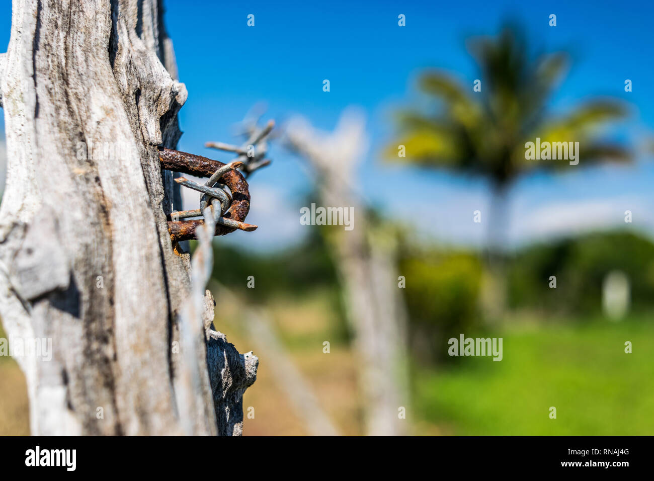 Textured wooden post up close, part of a barbed wire fence boundary on farm land in the countryside. Coconut Palm tree in background. - Stock Image