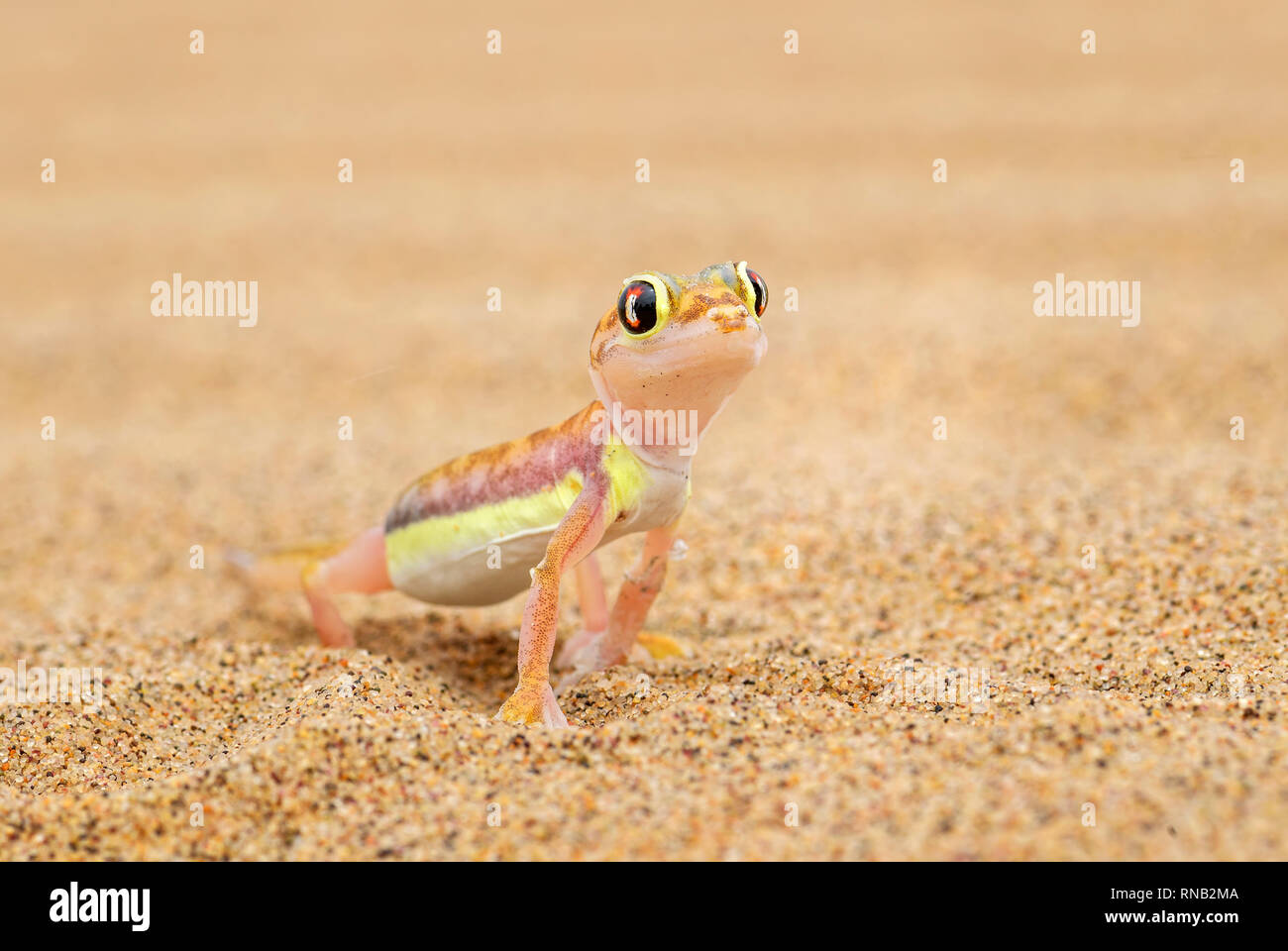 Namib Sand Gecko - Pachydactylus rangei, beautiful small gecko endemic in southwest Africa, Namib desert, Walvis bay, Namibia. Stock Photo