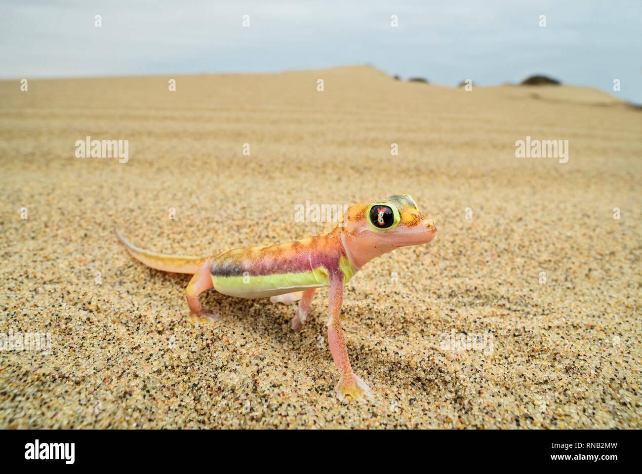 Namib Sand Gecko - Pachydactylus rangei, beautiful small gecko endemic in southwest Africa, Namib desert, Walvis bay, Namibia. Stock Photo