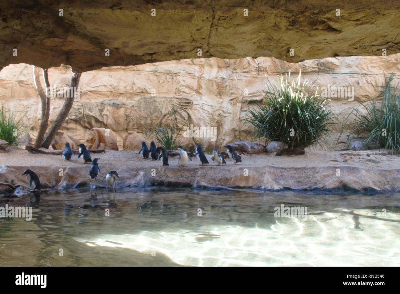 Penguins enjoying the jump into the cold water Stock Photo