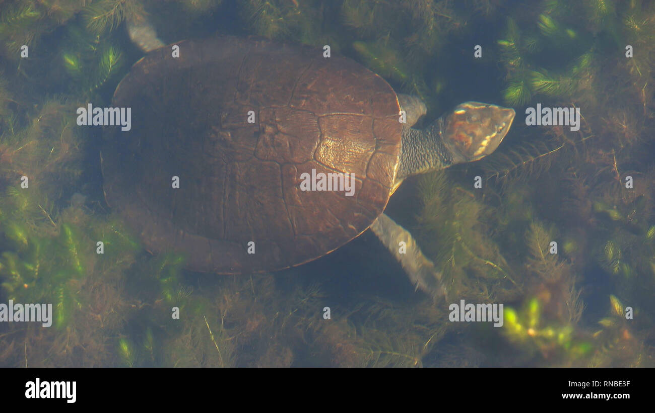 high angle view of a northern yellow-faced turtle swimming among freshwater plants in a billabong - Stock Image