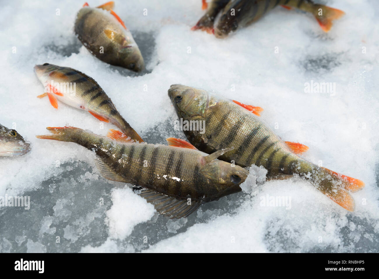 Many perch on a frozen lake on the snow  Ice fishing