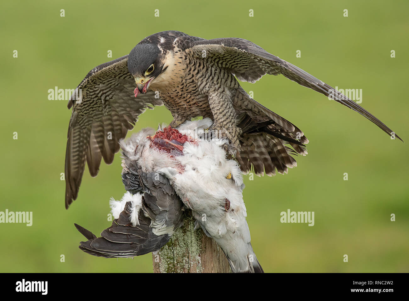 A peregrine falcon forms a mantle over as it feeds on its prey of a pigeon - Stock Image