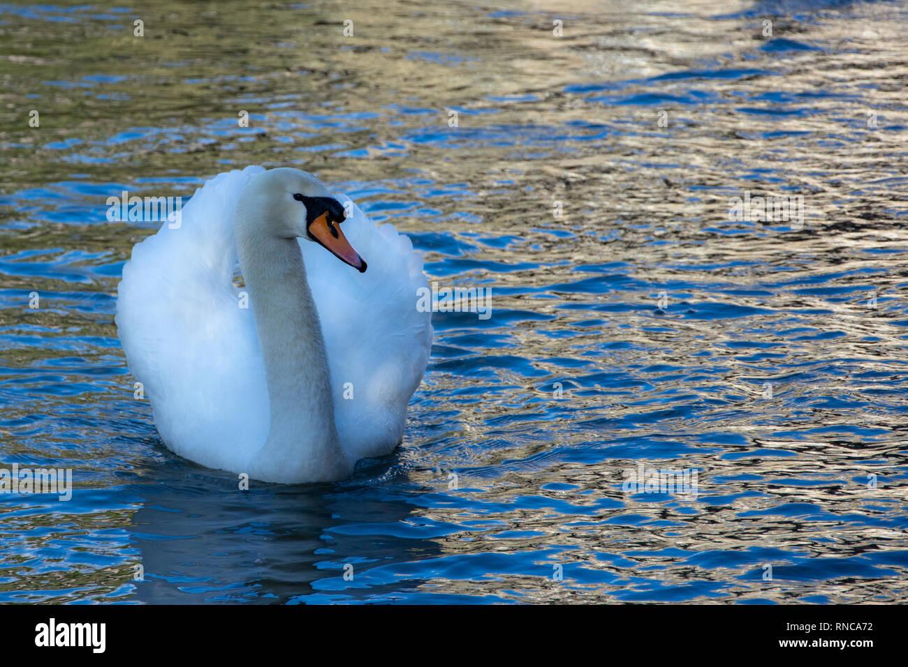 An adult Mute Swan (cygnus olor) swimming on the river Avon in Bradford on avon Stock Photo