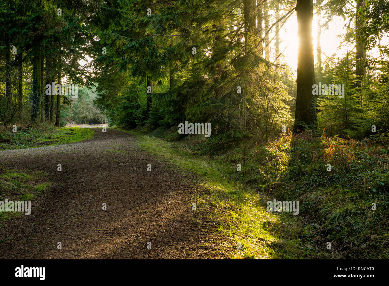 A gravel road leading through sunlit conifer woodland. - Stock Image