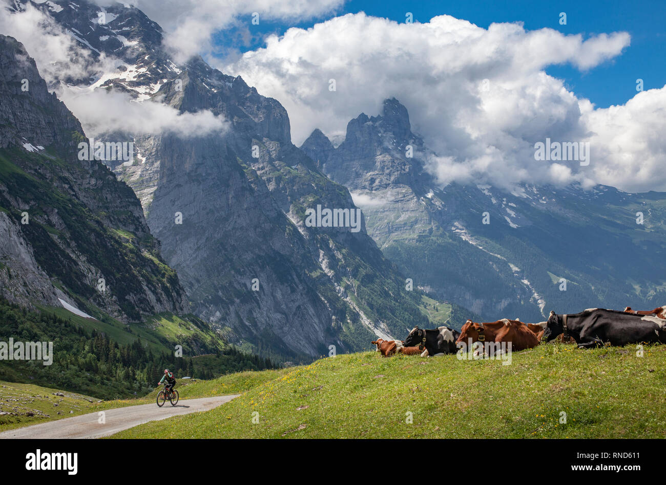 cattle herd in the grasslands high above Grindelwald with Eiger North face in the background, Berner Oberland,Jungfrauregion, Switzerland - Stock Image