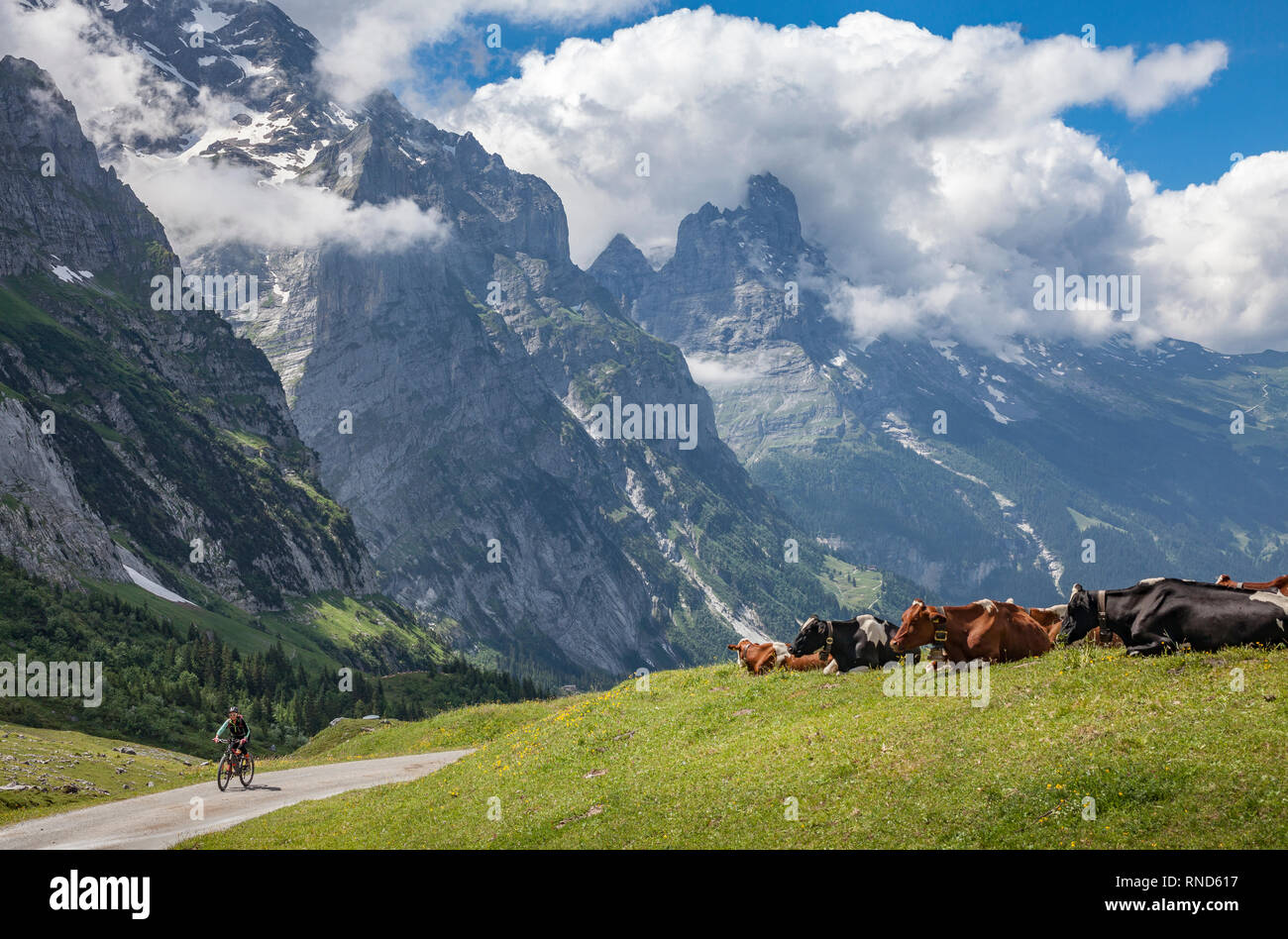 cattle herd in the grasslands high above Grindelwald with Eiger North face in the background, Berner Oberland,Jungfrauregion, Switzerland - Stock Image