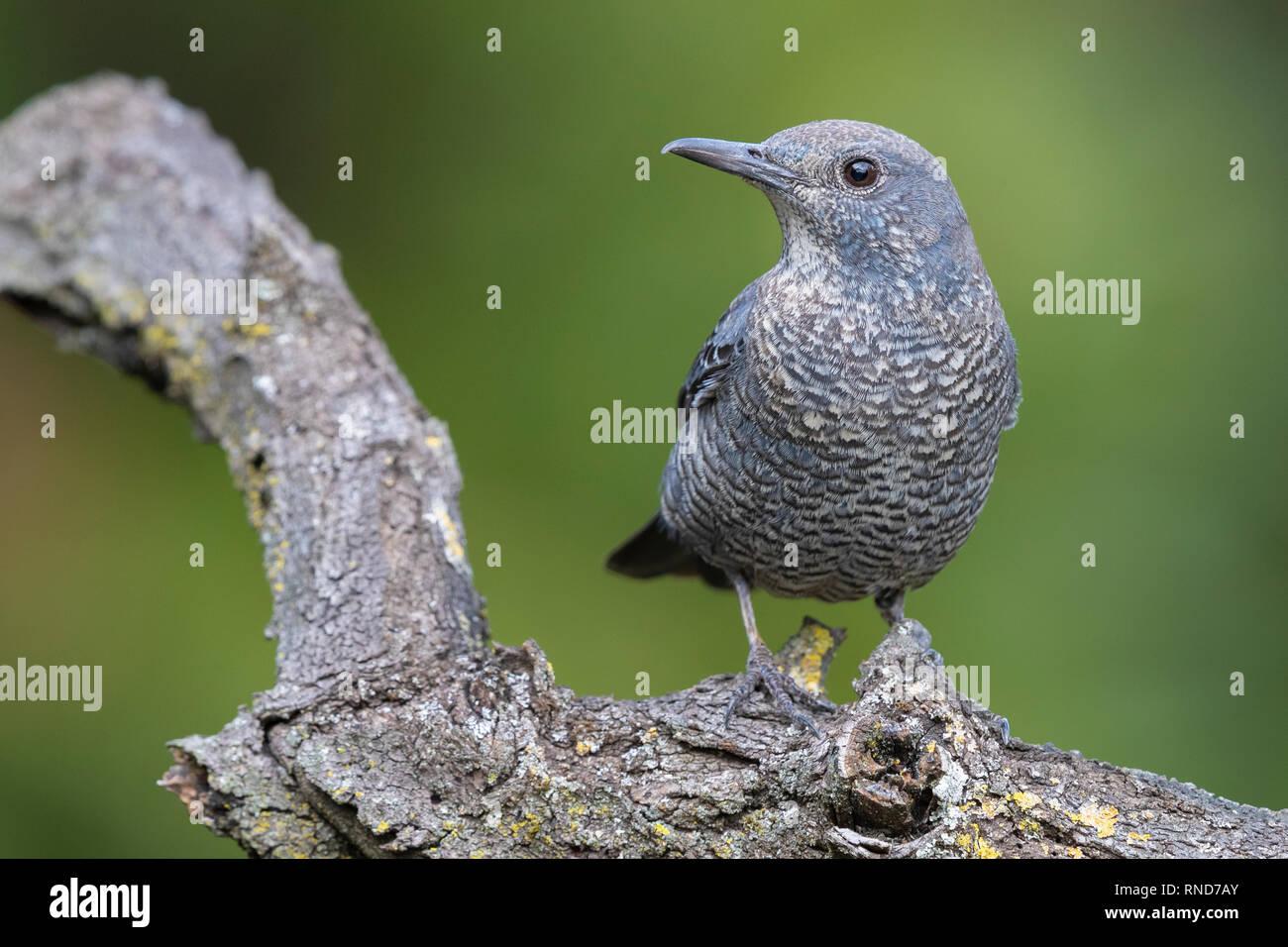 Blue Rock Thrush (Monticola solitarius), immature male perched on branch - Stock Image