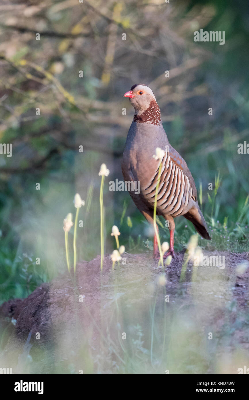 Barbary Partridge (Alectoris barbara koenigi), adult standing on the ground - Stock Image