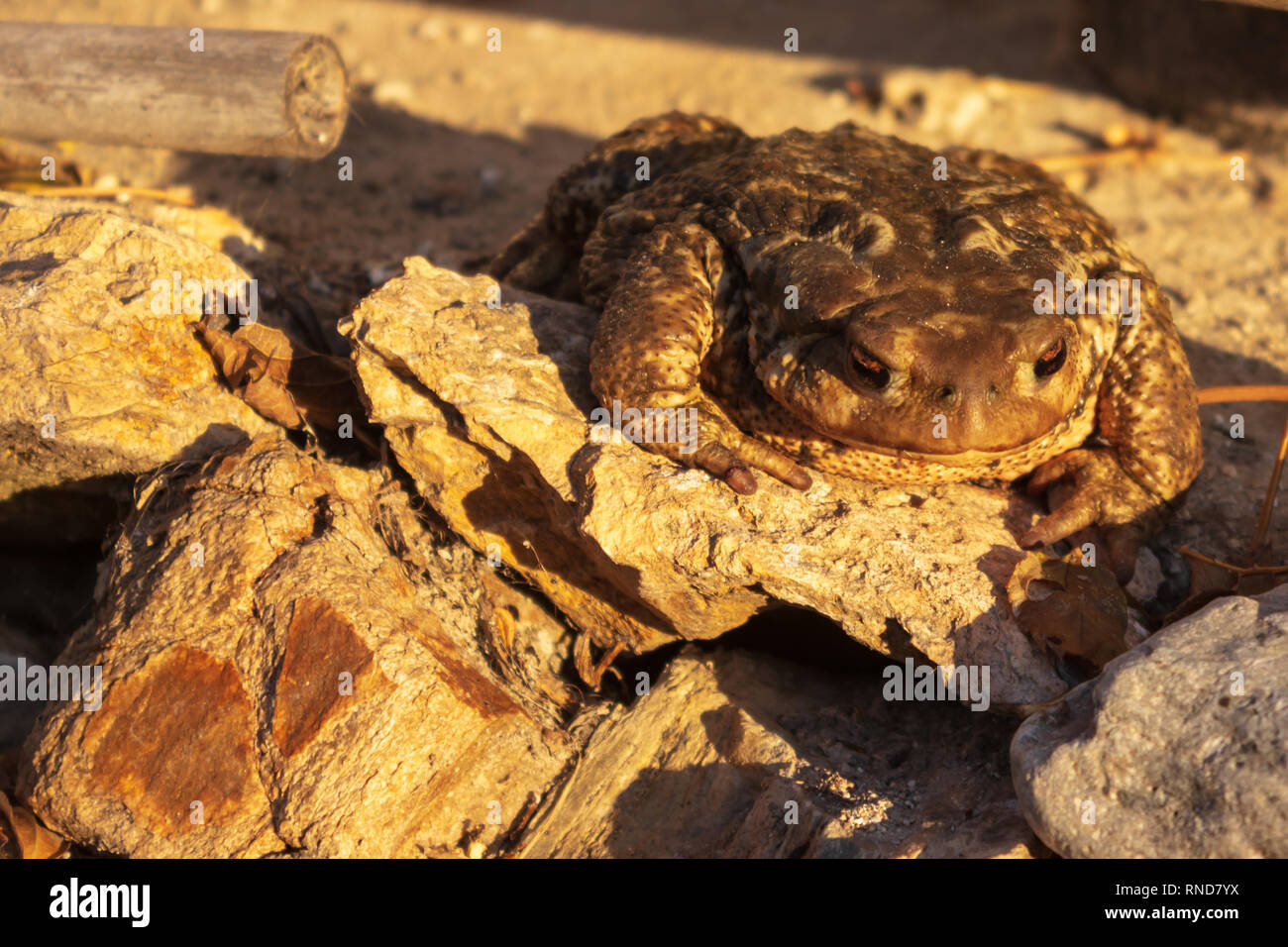 Bufo Spinosus, Spiney Toad - Stock Image