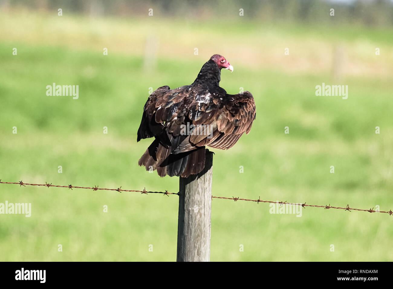 A turkey buzzard sits on a fence post - Stock Image