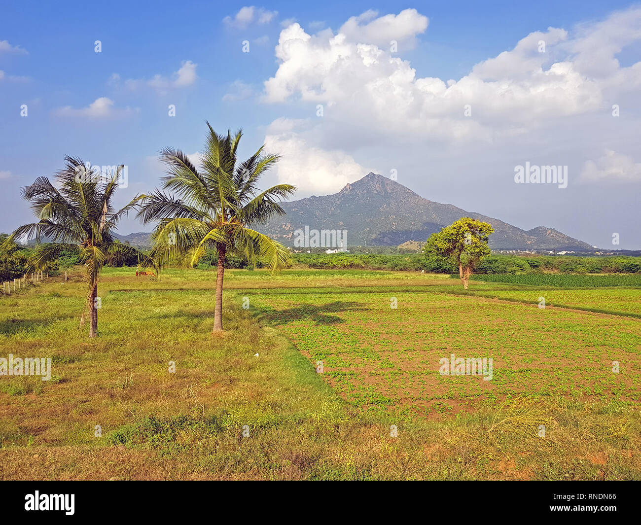 The mountain Arunachala in Tiruvannamalai Tamil Nadu India is referred to in the ancient scriptures as the oldest mountain on earth and modern researc - Stock Image
