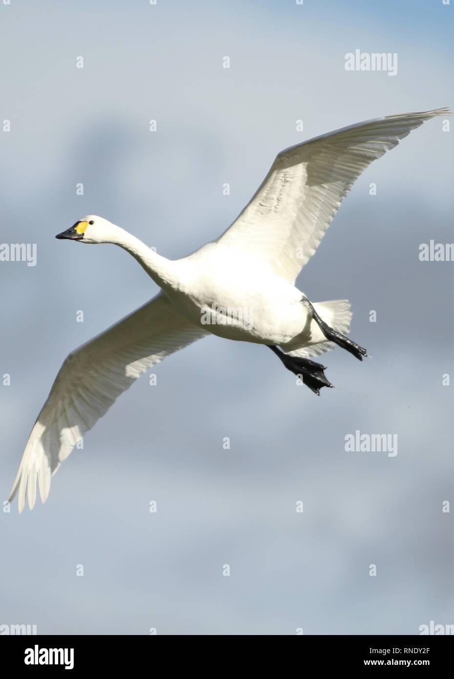 Bewick's swan (Cygnus columbianus bewickii) in flight on sunny winters day. February 2019, Gloucestershire, UK Stock Photo