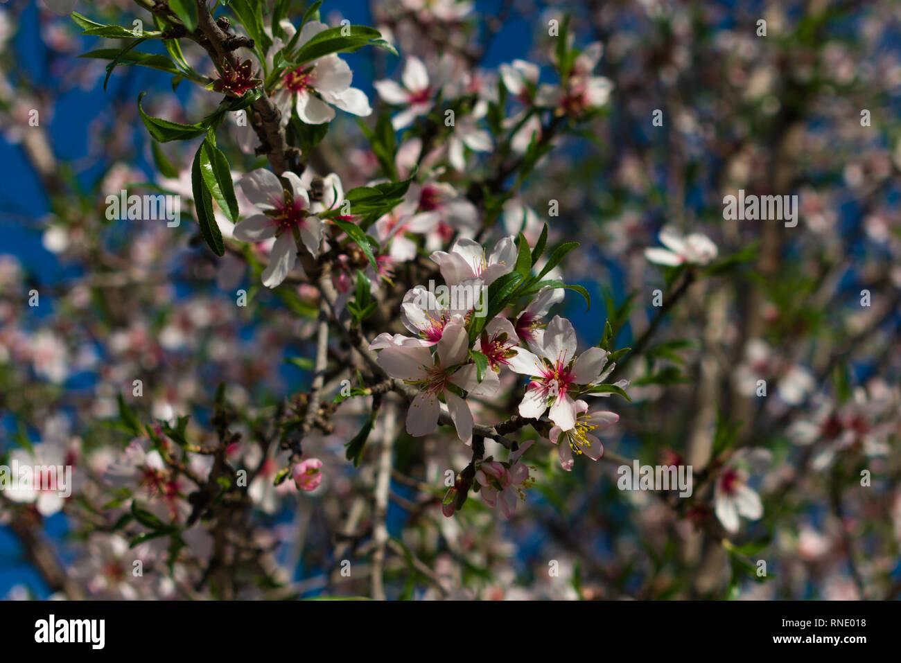 Almond flower - Stock Image