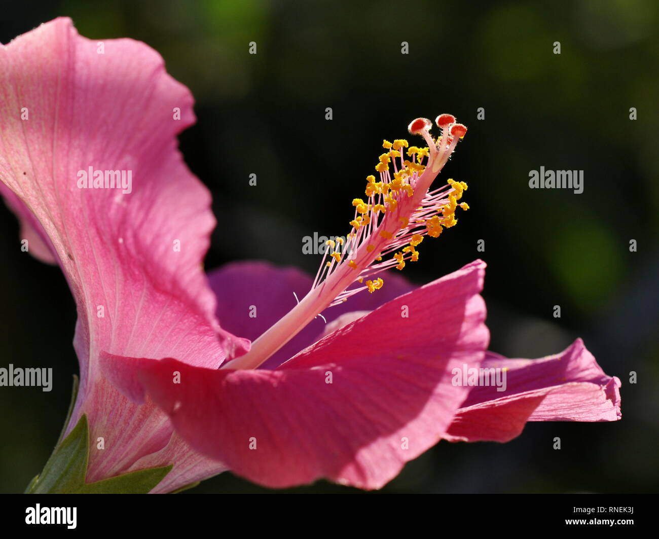 Closeup On The Reproductive Parts Of A Hibiscus Flower Stock Photo
