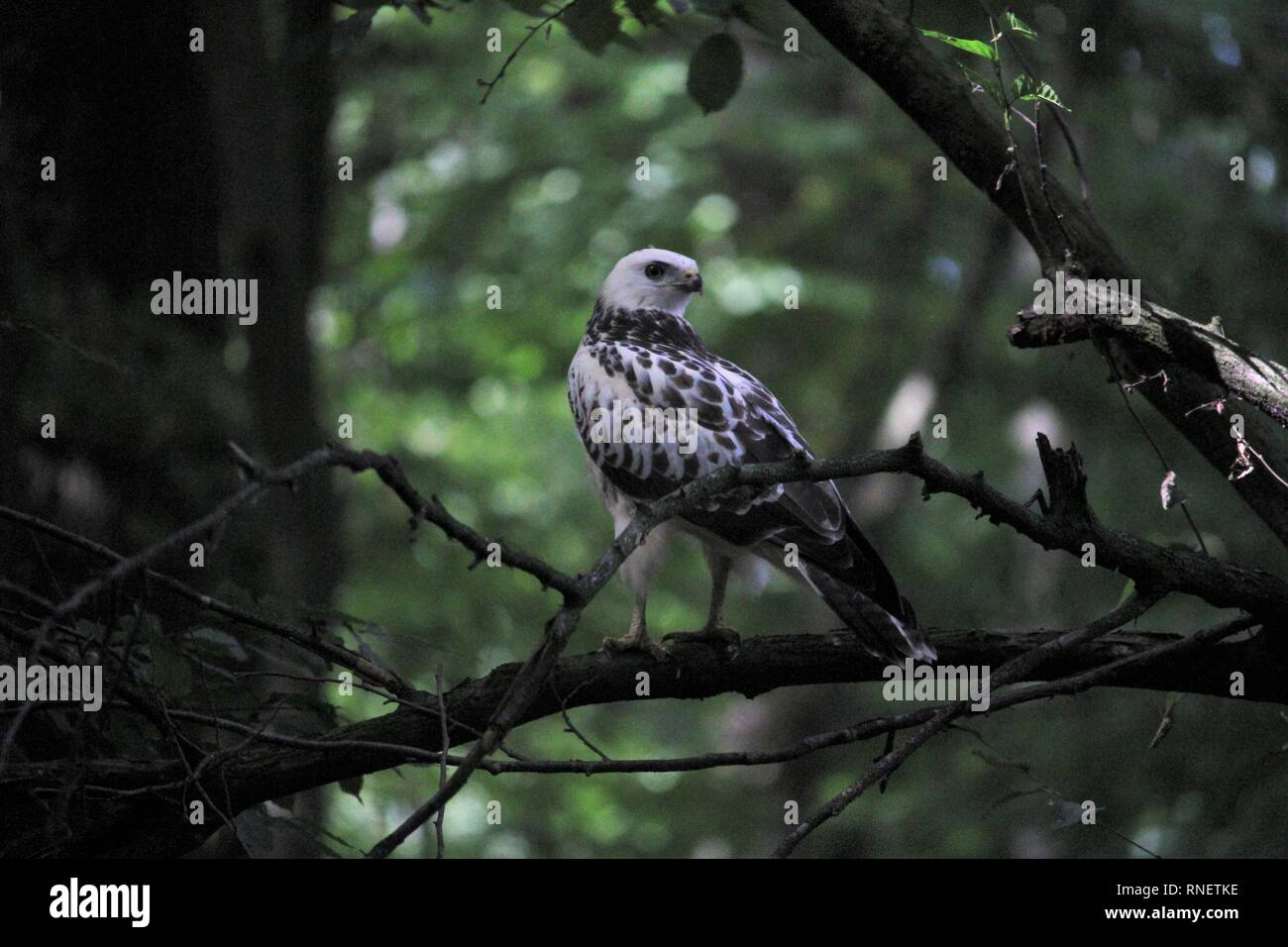 Buzzard (Buteo buteo) in a deciduous forest near Braunschweig-Mascherode, Germany - Stock Image
